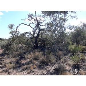 Curly mallee, Flinders Ranges