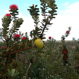 Banksia baxteri (yellow)