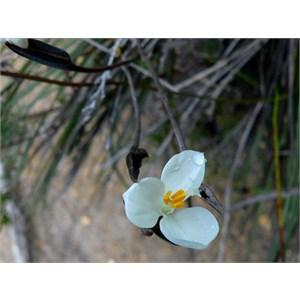 Native Iris, Patersonia inequalis