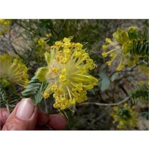 Riceflower, Pimelea suaveolens