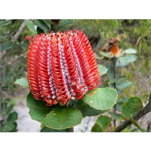 "Banksia coccinea - all flowers at ""hairpin"" or half open stage"
