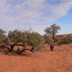 Gidgee trees