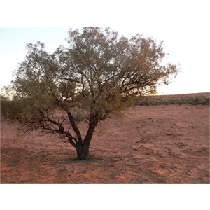 Young Gidgee tree, Simpson Desert