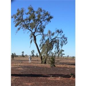 Acacia peuce, Mac Clarke reserve