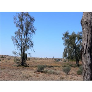 A. peuce north of Birdsville, showing bark.