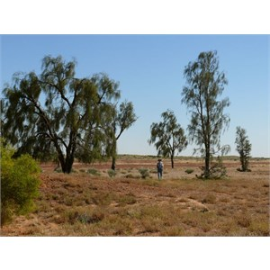 A. peuce north of Birdsville