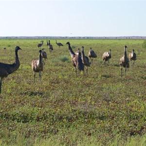Emus feeding on Nardoo near Boulia, Qld.