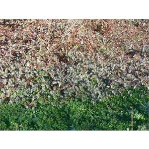 Silvery grey Marsilea growing near bright green clover