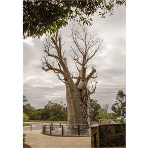Giga Jumulu: Adansonia gregorii: 'Boab' Tree