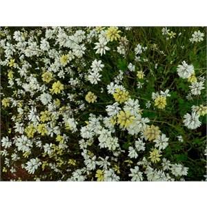 Cephalipterum drummondii