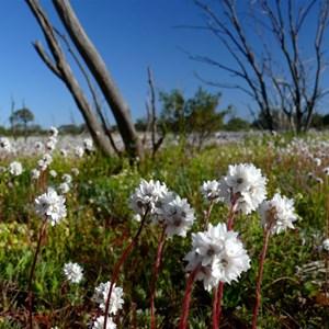 Pompom head daisies east of Maralinga 2013