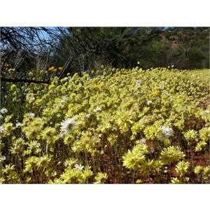 Pompom daisy