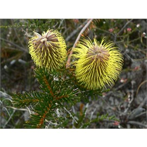 Banksia pulchella with styles fully extended