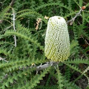 Banksia speciosa, Showy Banksia