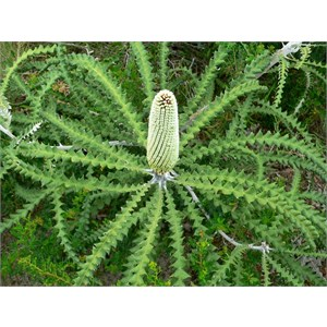 Banksia speciosa, Showy Banksia - young flower spike
