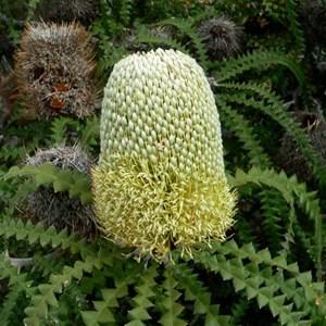 Banksia speciosa, Showy Banksia - flowers half open