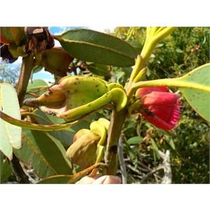 Eucalyptus tetraptera buds