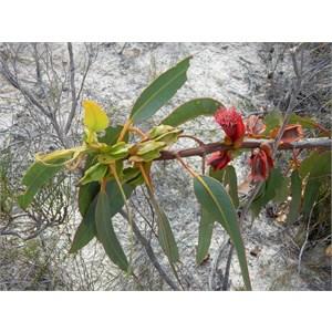 Eucalyptus tetraptera
