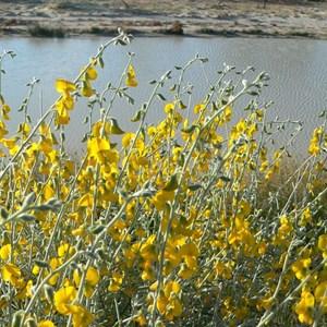 Crotalaria eremaea, Walkers Crossing