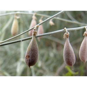 Crotalaria eremaea seedpods, Fort Grey NP NSW