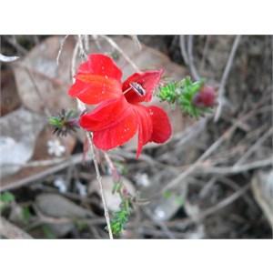 Lechenaultia formosa, Stirling Ranges NP. WA