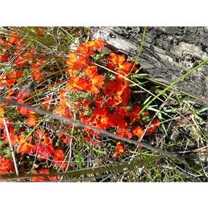 Lechenaultia formosa, east of Albany. WA