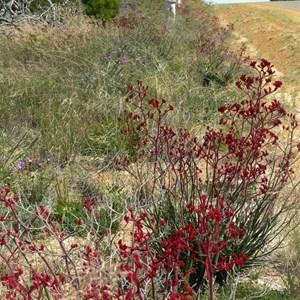 Red Kangaroo Paws line a roadside west of Esperance