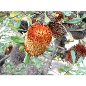 Banksia ornata