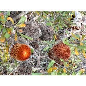 Banksia ornata showing persistent old flowers