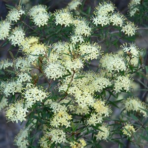 Scaly Phebalium near Bylong, NSW.