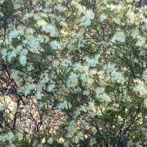 Scaly Phebalium near Bylong NSW