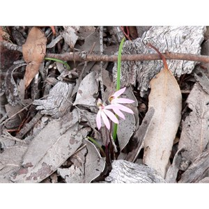 Caladenia carnea, near Bylong, NSW