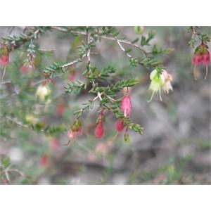Darwinia sp, Goulburn Rivers NP, NSW