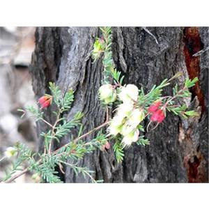 Darwinia, Goulburn Rivers NP, NSW