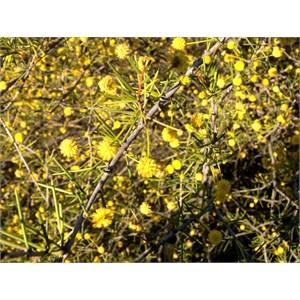 Dead Finish, Acacia tetragonophylla