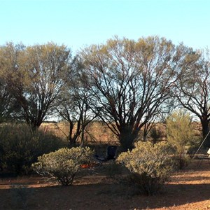 Red Mulga along a drainage line near Mt. Dare.