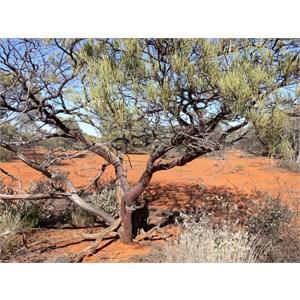 Red Mulga near Mt. Magnet, WA