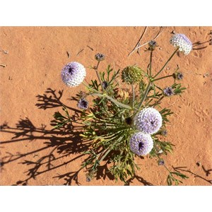 Wild parsley or wild carrot, Simpson Desert