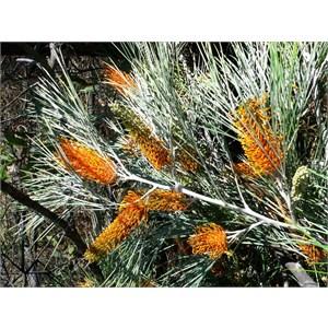Grevillea pteridifolia, Gibb River Road, WA