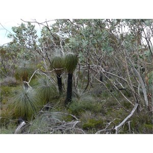 A clump of Kingias, Stirling Ranges NP. WA