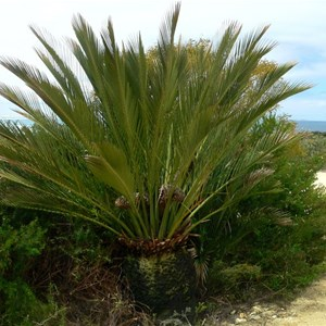 Male Macrozamia dyeri  with cones in the NP campground, Cape Arid, WA