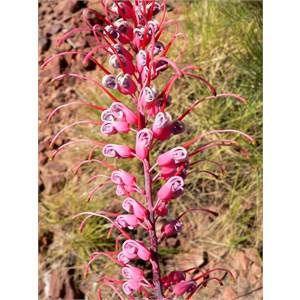 Grevillea dryandri. Lawn Hill NP, Qld