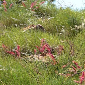 Grevillea dryandri growing among spinifex, Lawn Hill Np, Qld