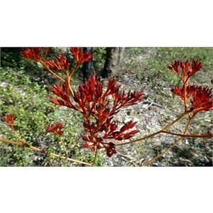 Scarlet bloodroot - Haemodorum coccineum