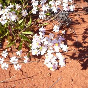 Pink Everlasting - Schoenia cassiniana