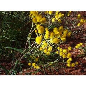 Orange Immortelle - Waitzia acuminata