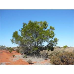 Grevillea acacioides