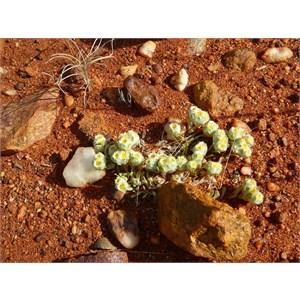 Flannel Cudweed - Actinobole uliginosum