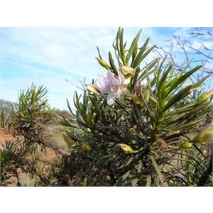 Spotted Poverty Bush - Eremophila abietina