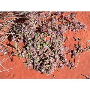 Trianthema pilosa near Old Andado, NT